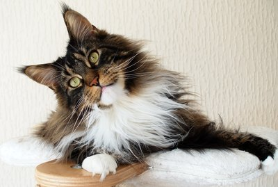 7 Fascinating Facts About Maine Coon Cats