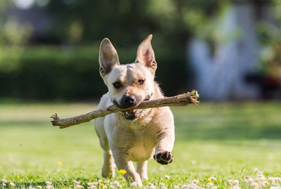 Why Do Dogs Like To Eat Sticks?