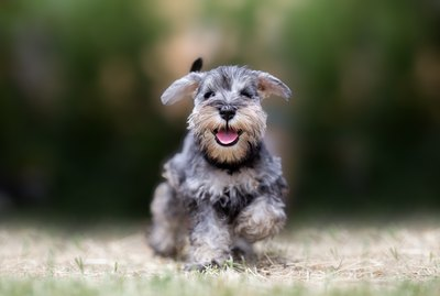 How Much Does a Miniature Schnauzer Eat?