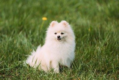 The Life Span of Pomeranians