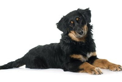Hovawart Dog Breed Facts & Information