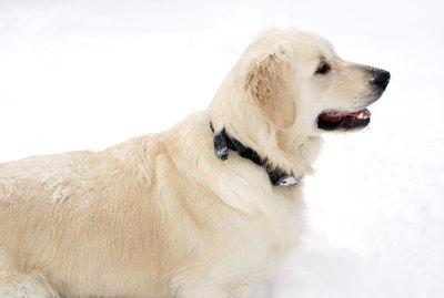 White (English Cream) Golden Retriever Facts & Information