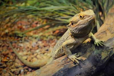 The Best Bearded Dragon Cage Setup in a 55 Gallon Tank
