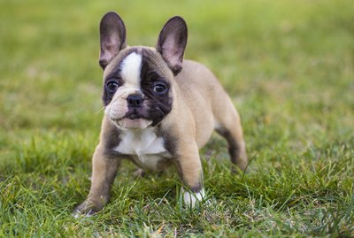 What Fruits & Vegetables Can I Feed My French Bulldog?