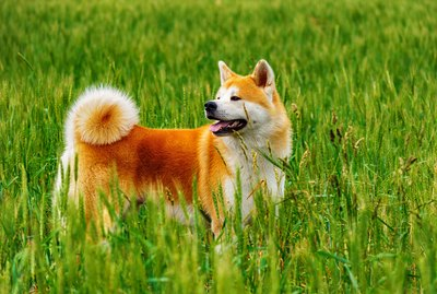 Akita Dog Breed Facts & Information