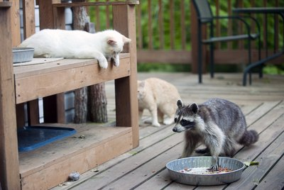 Can Cats And Raccoons Really Be Friends - Or Enemies?