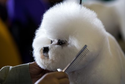 How to Groom a Bichon Poodle