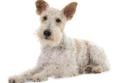 Small Wirehaired Dog Breeds