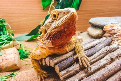 Do Bearded Dragons Make Good Pets?