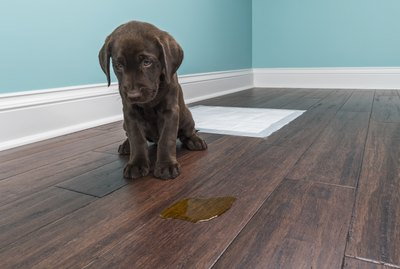 How To Remove Dog Pee Stains & Urine Odor From Everything