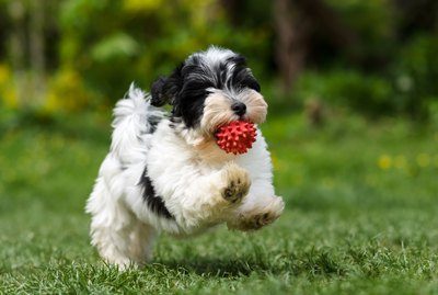 Havanese Dog Breed Facts & Information