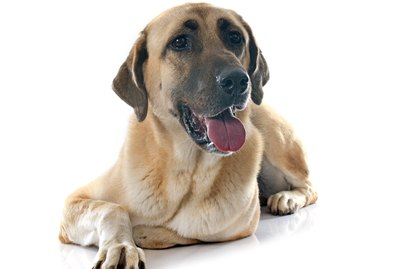 Anatolian Shepherd Dog Breed Facts & Information