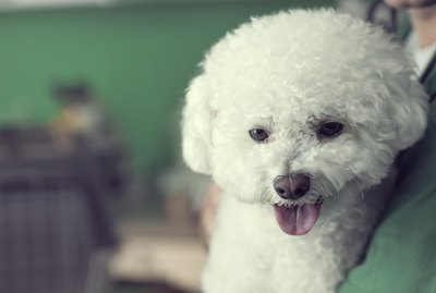 Types of Dogs With Curly Hair