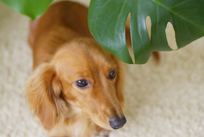 Are Philodendrons Poisonous To Cats & Dogs?