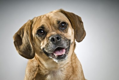 8 Fascinating Facts About Puggle Dogs