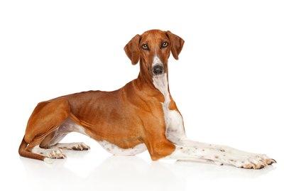 Azawakh Dog Breed Facts & Information