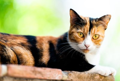 10 Unique & Surprising Facts About Calico Cats