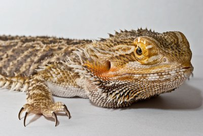 How to Introduce New Bearded Dragons