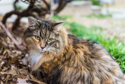 How to Tell the Difference between a Wegie and a Maine Coon