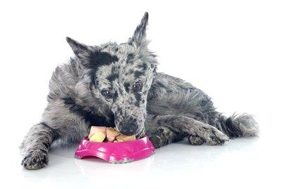 Mudi Dog Breed Facts & Information