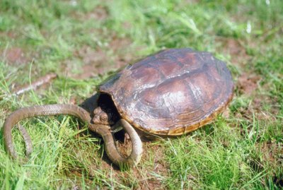 How to Make a Turtle Grow Faster