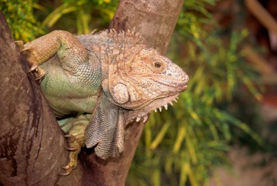 The Life Cycles of Iguanas