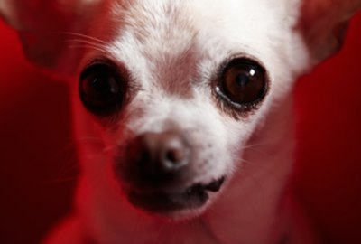 How to Help a Chihuahua Give Birth