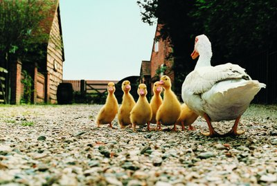 How to Raise Pekin Ducks From Ducklings