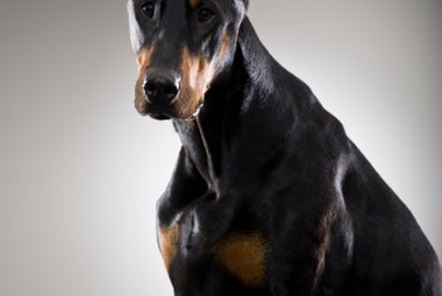 Three Types of Doberman Ear Crops