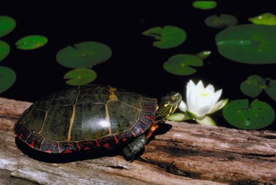 How to Help a Turtle With a Bleeding Shell