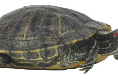 How to Know If Your Turtle Is Getting Ready to Lay Eggs