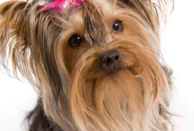 Ideas for Yorkie Haircuts