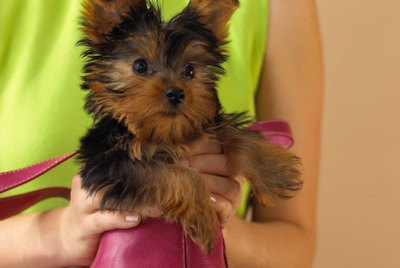 Short Grooming Styles for Yorkies