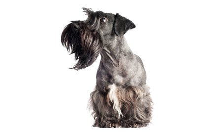 Cesky Terrier Dog Breed Facts & Information