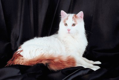 Turkish Van Cat Breed Facts & Information