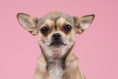 Chihuahua Dog Breed Facts & Information