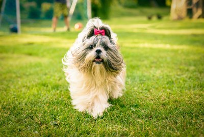 Imperial Shih Tzu Dog Breed Facts & Information