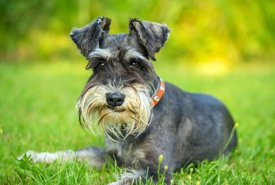 What Is the Difference Between a Schnauzer and a Scottish Terrier?
