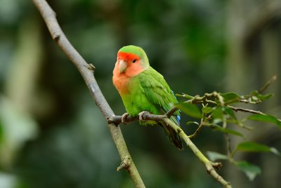 Signs of a Pregnant Lovebird