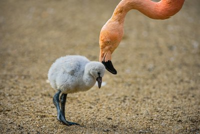 14 Fluffy White Baby Flamingos Will Make Your Heart Hatch