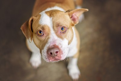 List Of Different Pit Bull Breeds