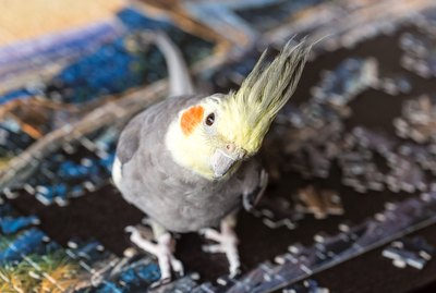 How to Know if Your Cockatiel Likes You