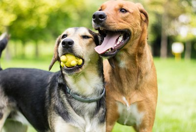 How Do Dogs Choose Friends?