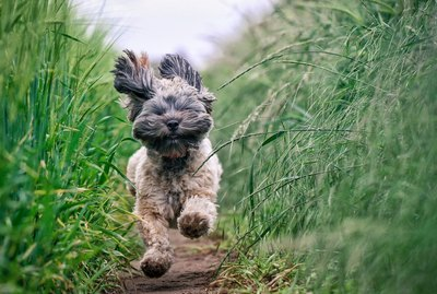 What Are Dog Zoomies and What Causes Them?