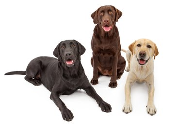 505 Names Perfect For Labrador Dogs