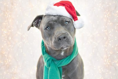 The Ultimate Holiday Gift Guide for Pit Bull Lovers