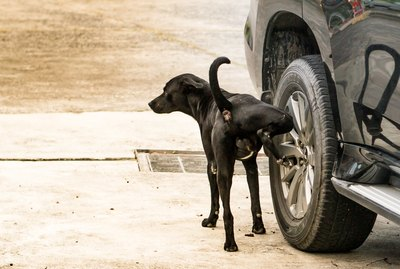 Why Do Dogs Pee On Car Tires?