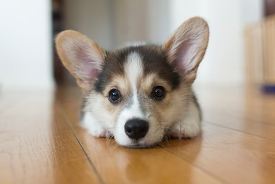 15 Things All Corgi Lovers Know