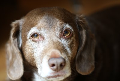 What Are the Signs Of Dementia in Dogs?