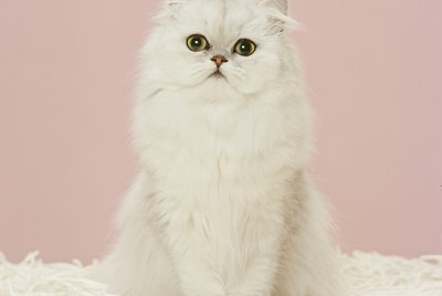 Persian Cat Facts and Information